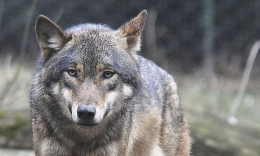 Should Wolves be re-introduced to Scotland?